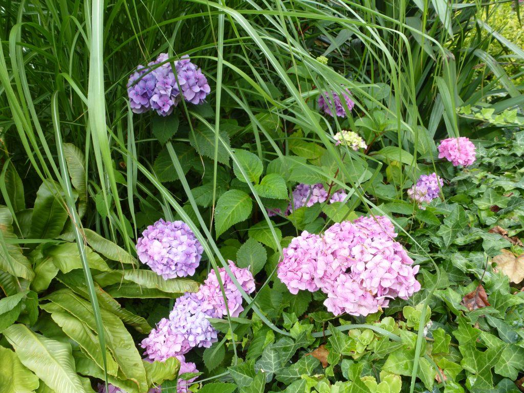 "Hydrangea macrocephylla ""Endless Summer"""